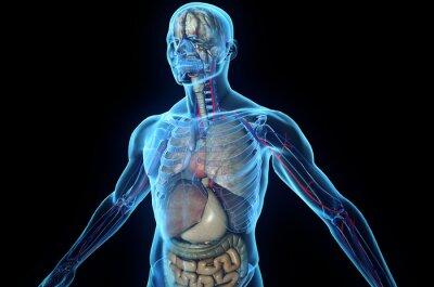 Fototapeta 3D ciała ludzkiego z narządów wewnętrznych