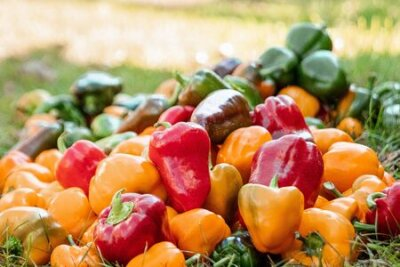 Fototapeta A bunch of bell peppers of different colors, organic vegetables. The concept of a garden, cottage, harvest