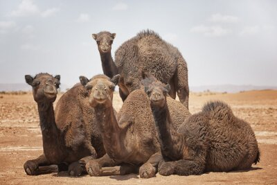 A group of camels (dromedaries) in Mhamid, in the Sahara desert of Morocco.