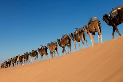 A long, endless caravan of camels (dromedary) against blue sky, at Erg Chebbi in Merzouga, Sahara desert of Morocco.