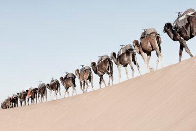 A long, endless caravan of camels (dromedary) at Erg Chebbi in Merzouga, Sahara desert of Morocco.