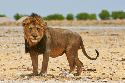 Fototapeta A male lion in Etosha National Park in Namibia