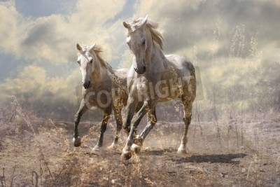 Fototapeta  A pair of white horses