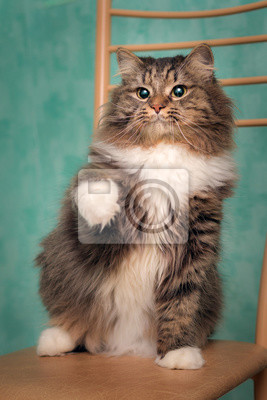 Fototapeta A serious fluffy tabby shows you a paw. The cat has white socks, a pink nose and a cunning look. He sits on a brown chair in a photo of a turquoise wall.