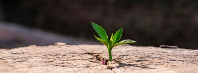 Fototapeta A strong seedling growing in the old center dead tree ,Concept of support building a future focus on new life with seedling growing sprout,New life growth future concept wide banner