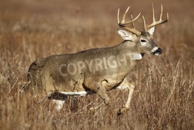 Fototapeta A white-tailed deer buck leaping through tall grass.