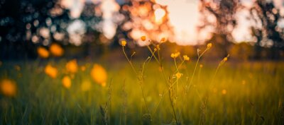 Fototapeta Abstract sunset field landscape of yellow flowers and grass meadow on warm golden hour sunset or sunrise time. Tranquil spring summer nature closeup and blurred forest background. Idyllic nature