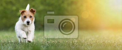 Fototapeta Active happy pet dog puppy running in the grass in summer, web banner with copy space