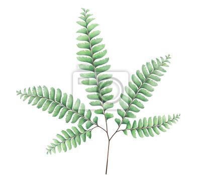 Adiantum fern isolated on white background. Botanical illustration.
