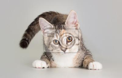 Fototapeta Adorable kitten eating as domestic animal portrait