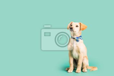 Fototapeta Adorable złoty szczeniak