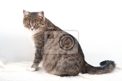 Fototapeta Adult pregnant domestic cat sitting  on a light background.