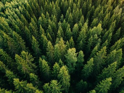 Fototapeta Aerial top view of summer green trees in forest in rural Finland.