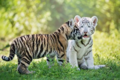 Fototapeta Affectionate młode tygrysy plenerze
