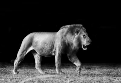 Fototapeta African Lion