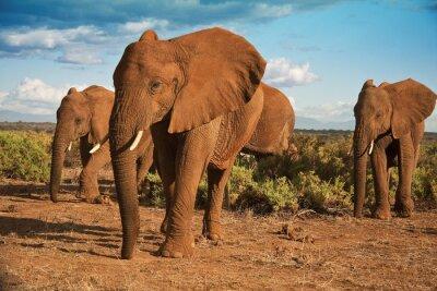 Fototapeta African matriarchat słoń na tle błękitnego nieba