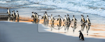 Fototapeta African penguins walk out of the ocean to the sandy beach. African penguin also known as the jackass penguin, black-footed penguin. Scientific name: Spheniscus demersus. Boulders colony. South Africa