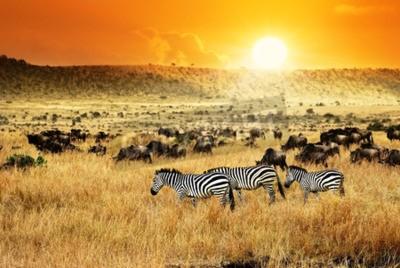 Fototapeta Afrykański krajobraz. Stado zebr i antylop gnu o zachodzie słońca, Kenii