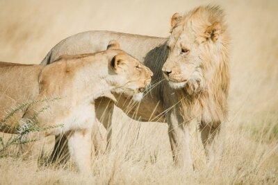 Fototapeta Afrykański samiec i samica lwa na sawannie w Afryce w ciepłych kolorach