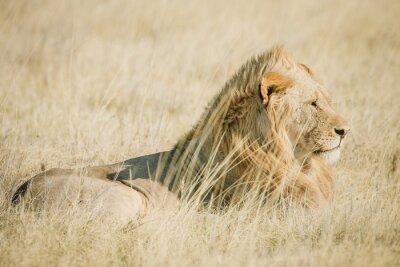 Fototapeta Afrykański samiec lwa na sawannie w Afryce w ciepłych kolorach