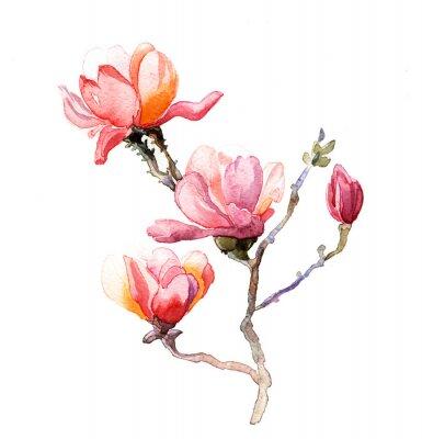 Fototapeta akwarela magnolia samodzielnie na białym tle