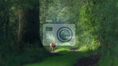Fototapeta Alert roe deer on a summer forest trail.