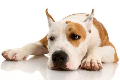 Fototapeta American Staffordshire terrier na białym tle