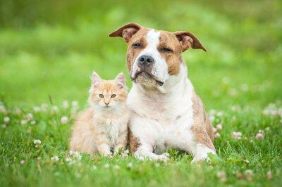 Fototapeta American staffordshire terrier pies z małego kotka