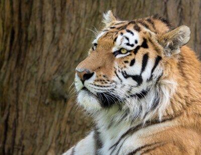 Fototapeta Amur Tiger, Panthera tigris ataksyjne. Głowica profil strzał z brązowego kory w tle.