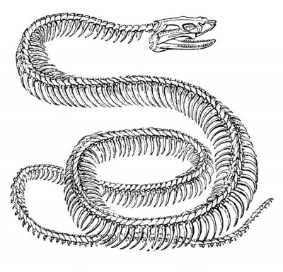 Fototapeta An engraved animal image of a python snake skeleton from a vintage Victorian book dated 1886 that is no longer in copyright, stock photo image