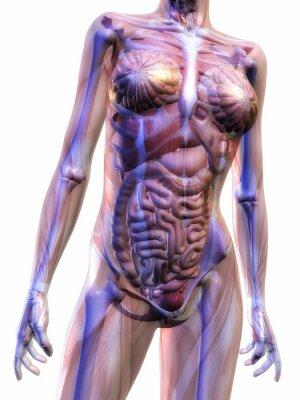 Fototapeta Anatomia człowieka