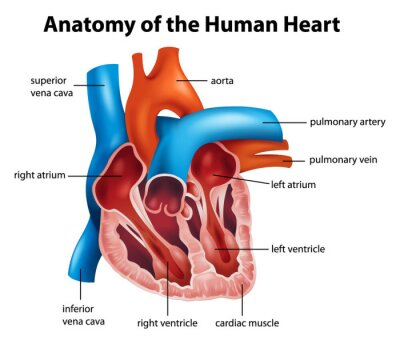 Fototapeta Anatomia człowieka serce