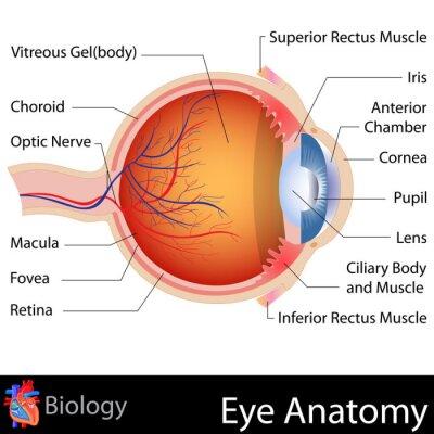 Fototapeta Anatomia Eye