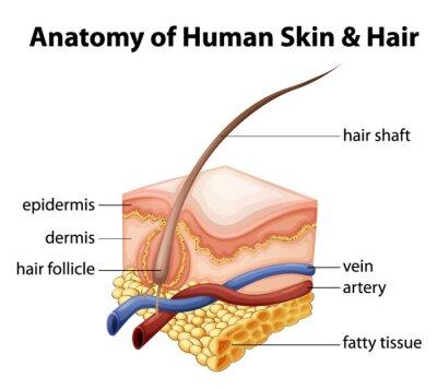 Fototapeta Anatomia ludzkiej skóry i włosów