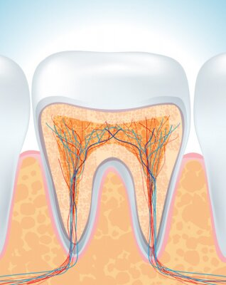 Fototapeta Anatomia zębów