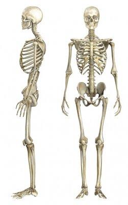 Fototapeta Anatomische Darstellung menschliches szkielet 1