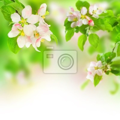 Fototapeta apple Blossom
