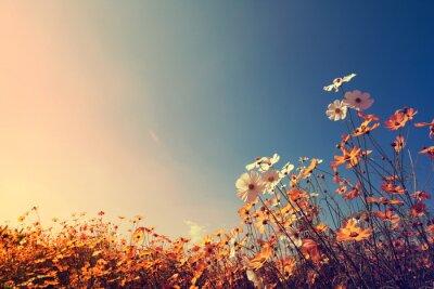 Fototapeta Archiwalne krajobrazu przyrody tle Piękny kwiat Cosmos polu na niebo z promieni słonecznych jesienią. Kolor retro efekt filtra tonu