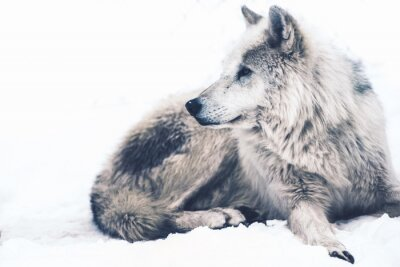 Fototapeta Arktyczny Wilk