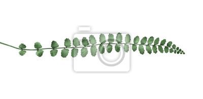 Asplenium trichomanes fern isolated on white background. Botanical illustration.