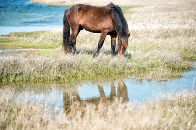 Fototapeta Assateague horse baby young puppy wild pony