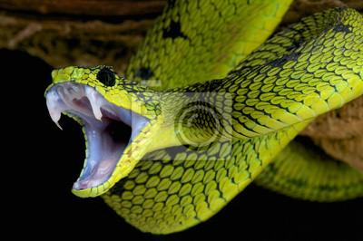 Fototapeta Atakowanie wąż / Atheris nitschei