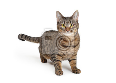 Fototapeta Attentive Brown and Black Tabby Cat Over White