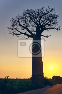 Avenue of Baobabs, Morondava, Madagaskar