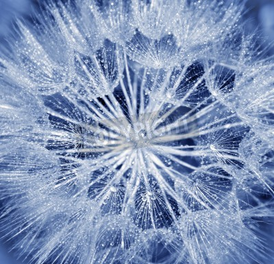 Fototapeta Background of dandelion flower, extreme closeup, abstract blue nature background