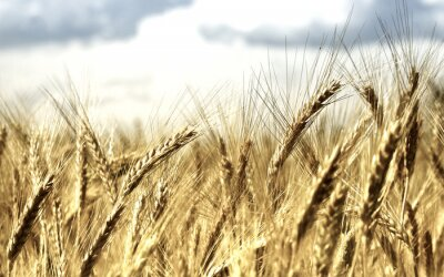Fototapeta background Wheat