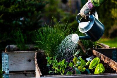 Fototapeta Backyard outdoor portrait of a woman gardener hands planting letuce in vegetable garden.