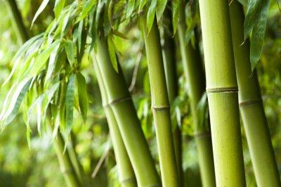 Fototapeta Bamboo tle lasu