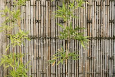 Fototapeta Bambus ogrodzenia i zielony bambus