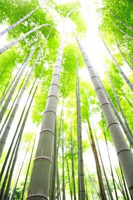 Fototapeta bambusowe drzewa